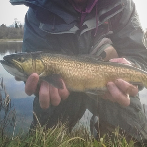 A cracking Brown of approx. 3.5-4lb, a nicely coloured rainbow, a lovely full finned tiger, a white Zonker fished deep and slow on an intermediate line - taken by Gerry on 28th of December.